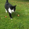 Spooky the Gatehouse Cattery cat